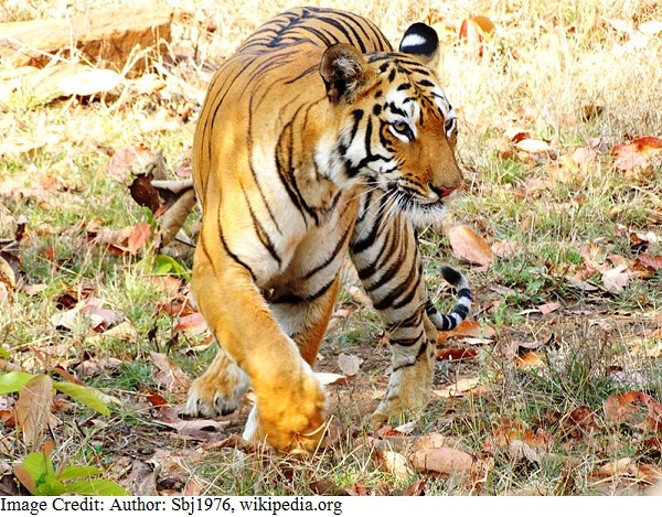 भारत का राष्ट्रीय पशु - शाही बंगाल बाघ