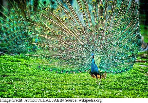 भारत का राष्ट्रीय पक्षी - मोर