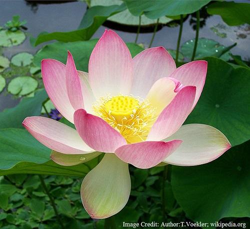 भारत का राष्ट्रीय फूल - कमल
