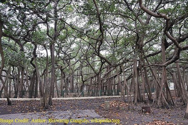 भारत का राष्ट्रीय पेड़ - बरगद